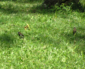 Munia in Ubud