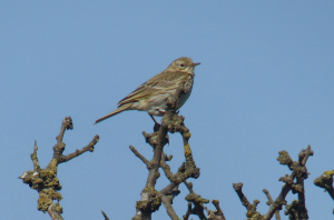 Pipit at Spurn