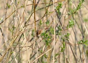 Female Reed Bunting Farmoor