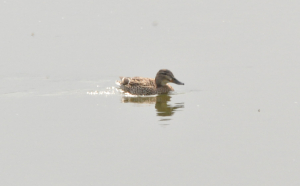 Female Garganey Tyttenhanger April 2011