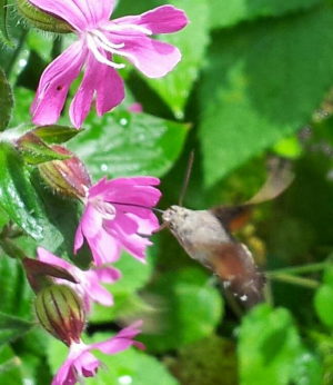 Hummingbird hawk moth?