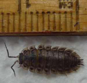 Common shiny woodlouse