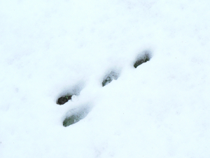 Rabbit prints in snow