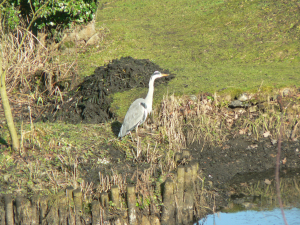 Heron visiting our pond