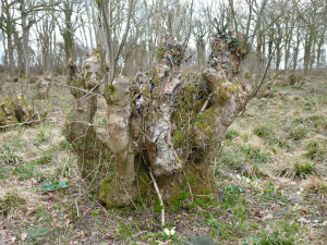 Ancient coppiced ash