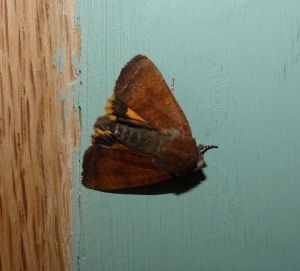 Brown and gold moth