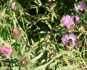 red-tailed bumblebee and eristalis hoverflies on thistle