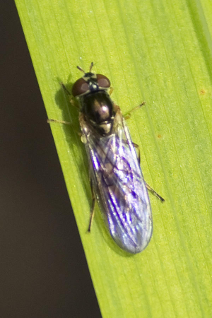 Hoverfly-ID