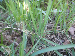 wide leaved grass in woodland