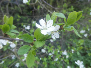 Blossoming small tree