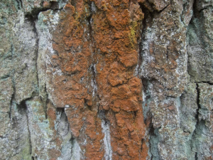 red lichen on oak