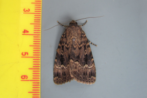 (Svensson's) Copper Underwing