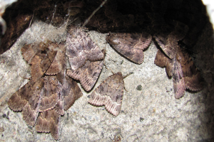 Copper Underwing Roost