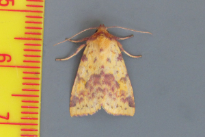 Pink-Barred Sallow