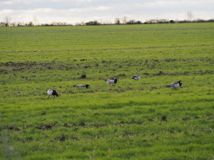 121207 Barnacle Geese in Cambridge