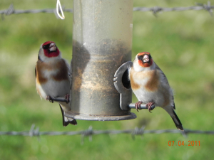 Pair of Goldfinches
