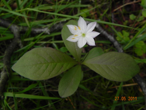 Chickweed Wintergreeen