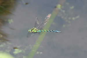 dragonfly blue green