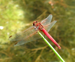 Rare Dragonfly