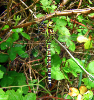 Southern Hawker at Thompson Common, July 2010