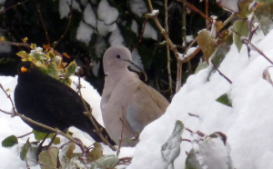 Dove with deformed bill