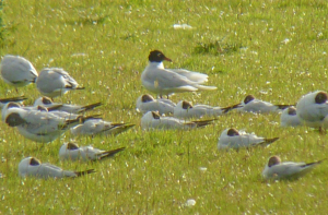Summer plumage Med Gull