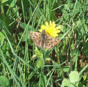 Rosy Grizzled Skipper?