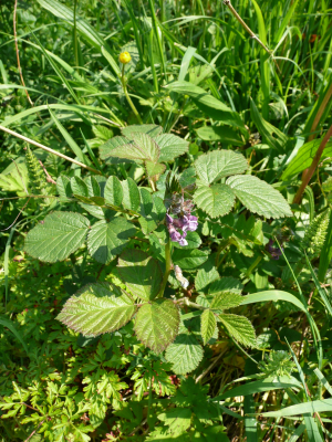 Bush Vetch?
