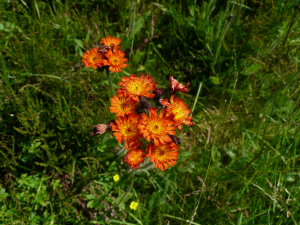 Fox and Cubs