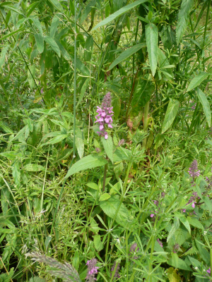 Marsh Woundwort?