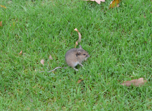 Small hopping rodent with snout