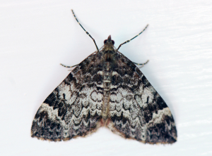 Common Marbled Carpet ?