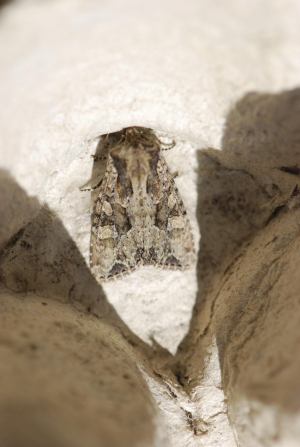 ? Pale Shouldered Brocade