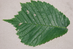 Mine in Elm leaf ? Fenusa ulmi