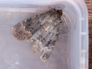 Svensson's Copper Underwing?