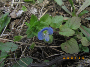Type of speedwell