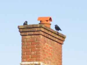 Black birds, spotted in Haslemere