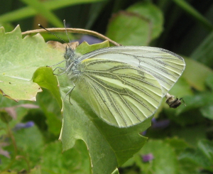IMG_3337 / Green-veined White