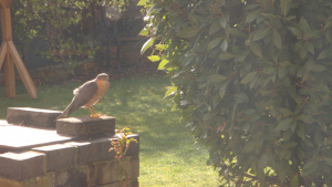 Male Sparrowhawk hunting sparrows