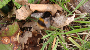 Queen Bumble Bee seeking nest site