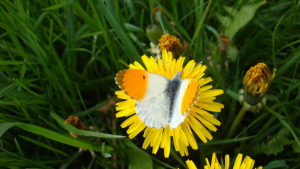 Male Orange Tip feeding on Dandelion