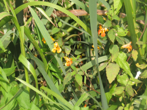 The other non-indigenous Balsam