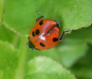Ladybird with 8 spots