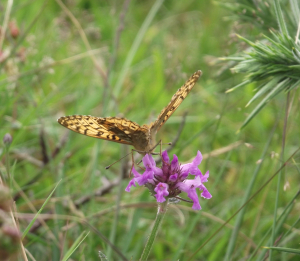 Unhelpful ID shots - Fritillary