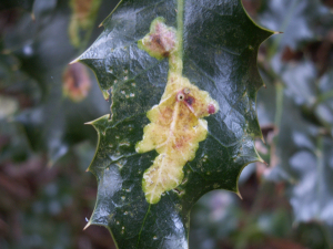 holly leaf-miner