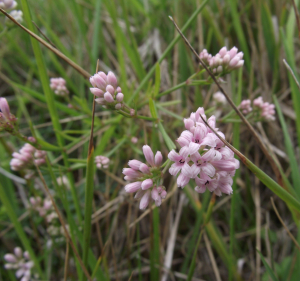 Pink flower on chalk grassland
