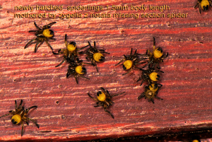 hatchling spiders