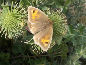 2-spotted Meadow Brown?