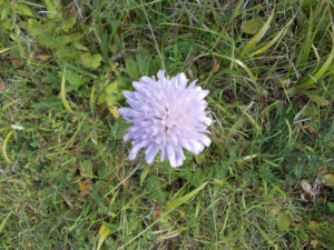 Scabious - which one?