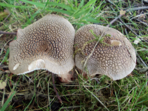 Brown toadstool with white scales